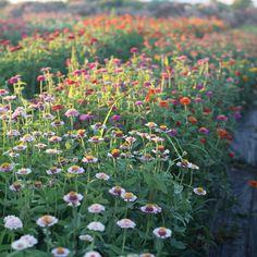 Field of zinnias at Floret Flower Farm.