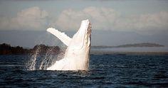 Rare Photos of Migaloo the Albino Humpback Whale - My Modern Metropolis Have you Seen the White Whale? White Humpback Whale, White Whale, Blue Whale, Amazing Animals, Animals Beautiful, Rare Photos, Photos Du, Rare Images, Epic Photos