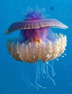 "rhamphotheca: ""  Crowned Jelly (Cephea cephea) by Dana Campbell (read more: Encyclopedia of Life) (photo: Derek Keats) """