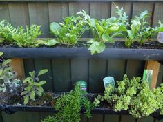 Rows in gutters of living salad and herbs in my small urban oasis.
