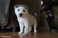 Grey and white Siberian husky with blue eyes Bama Huskies