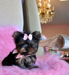 Stunning Teacup Yorkie PrincessShe is Out of This World!!Sold Moving to Mexico City!