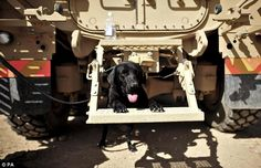 Ready for action: Wylie messes around at the back of a Mastiff vehicle stationed at Camp Bastion.  There are 9,000 British troops currently stationed in Afghanistan - but they are not the only UK natives struggling in the desert heat. A team of bomb-sniffing dogs is at Camp Bastion alongside thousands of soldiers, sailors and airmen. And despite the 30C (86F) temperatures which herald the start of summer, the animals have apparently been enjoying their stay in the warzone.