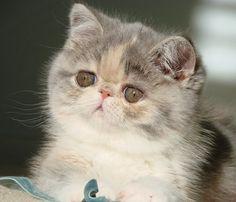 Paisley, an Exotic Shorthair kitten at www.MewzNewz.com