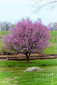 Cherry Blossom by Mesa Teresita