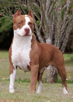 Although pit bulls were all created with similar crossbreeding between bulldogs and terriers, each individual breed within the type has a distinct history. The US Humane Society estimates that there are over 79.2 million owned dogs in the United States; however, the number of pit bull-type dogs has not been reliably determined.