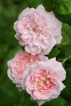 Eglantyne Roses