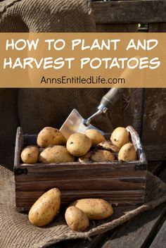 How to Plant and Harvest Potatoes; the potato is the world's fourth-largest food crop (maize, wheat and rice are the top three). The potato is a good source of vitamin C, potassium and B6. Interested in growing potatoes? These tips will help you grow a bumper crop of your favorite tuber. http://www.annsentitledlife.com/how-does-your-garden-grow/how-to-plant-and-harvest-potatoes/
