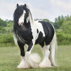 Gypsy Vanner- what a gorgeous horse!! I want one!