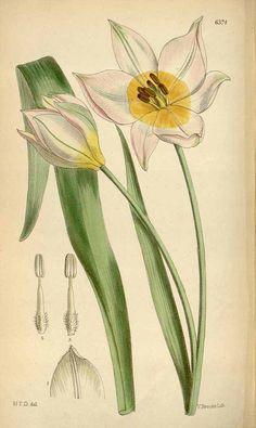 3866 Tulipa saxatilis Sieber ex Sprengel / Curtis's Botanical Magazine, vol. 104 [ser. 3, vol. 34]: t. 6374 (1878) [H. Thiselton-Dyer]