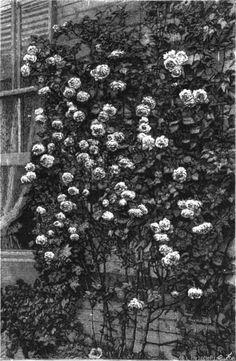 'Cheshunt Hybrid' Rose Photo