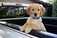 Chien Golden Retriever, National Puppy Day, Puppies, Dog, Friends, Sweet, Drawings, Dogs, Animales