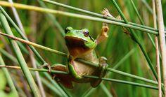 Larvas de ranas y sapos se hacen vegetarianas por el calor