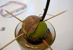 Come far germogliare un seme di avocado