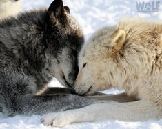 """It is not enough to understand the natural world; the point is to defend and preserve it. Wolf Love, Arktischer Wolf, Lone Wolf, Wolf Photos, Wolf Pictures, Animal Pictures, Beautiful Wolves, Animals Beautiful, Cute Animals"