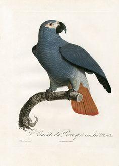 Jacques Barraband, Variete du Perroquet cendre, from Histoire Naturelle des Perroquets, 1801-1805