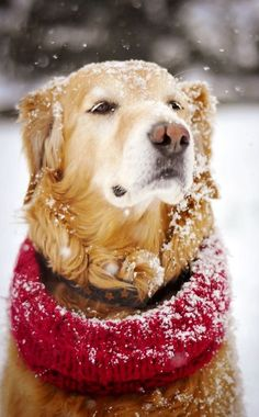 Golden retriever in the snow.Miss my doggy~my Kyu LOVED snow! Love My Dog, Cute Puppies, Cute Dogs, Dogs And Puppies, Doggies, Beautiful Dogs, Animals Beautiful, Animals And Pets, Cute Animals