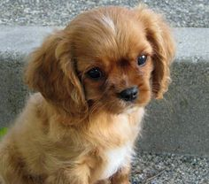 Someone explain to me how not everyone in the world has this breed?! Like omgod ima bout to die of cuteness!