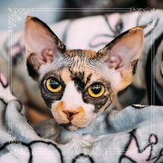 Sphynx Cat - Find Out About Life With A Hairless Cat Breed Kittens sphynx cat I Love Cats, Crazy Cats, Cute Cats, Cute Hairless Cat, Cat Anime, Sphinx Cat, Photo Chat, Beautiful Cats, Cat Breeds