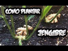 Como Plantar O Cultivar Jengibre En Casa Con Exito || La Huertina De Toni - YouTube