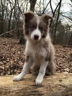 NicNacs from Paradise Falls Border Collie female, lilac&white, *11/2015