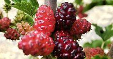 Čerstvé moruše sice nemůžete koupit v obchodě, ale pokud se pozorně podíváte kolem sebe, můžete na ně narazit ve městech, u starých cest č... Blackberry, Raspberry, Fruit, Food, Blackberries, Essen, Raspberries, Yemek, Meals