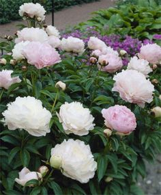 'Moonstone' Peony (Selections from the John Scheepers Beauty from Bulbs Dutch Flower Bulbs Catalog)
