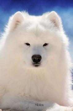 Dogs - Portrait of Dash the Samoyed dog.
