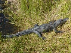 Alligator nahe Florida City im Everglade National Park