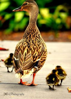 Duck and Ducklings by Mohandoss Sampath