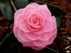 Camelia japonica [Family: Theaceae] - Flickr - Photo Sharing!
