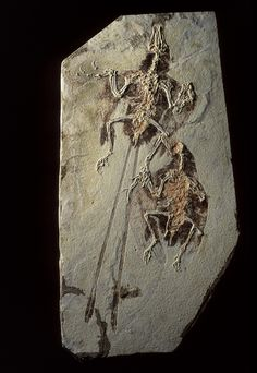 1993, Confuciusornis: This 125-million-year-old bird was discovered in China. Many hundreds of specimens have now been identified.