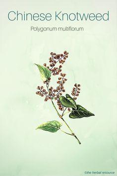 Chinese Knotweed (Polygonum multiflorum)