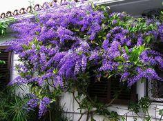 Viuvinha - Petrea subserrata Tropical climber, aka Queen's Wreath, full sun, slow growth