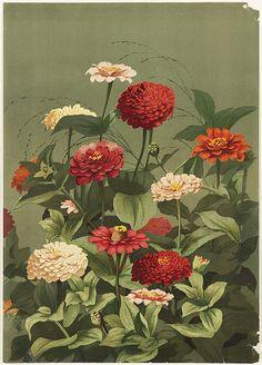 heaveninawildflower:  Zinnias by Boston Public Library on Flickr. Zinnias by Ellen T. Fisher.