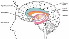 Emotions Directly Influence Learning and Memory Processes #Neuroscience (Happy to pin for other sites but you should also check out my page at greenwoodcounselingcenter.com )