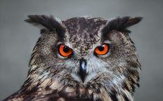 Wallpaper owl, owls, bird, feathers, beak, eyes