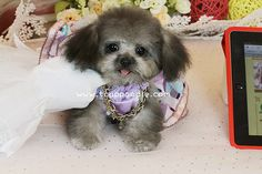 toy poodle,teacup poodle,tiny toy poodle,pedigree poodle,poodle for sale,poodle breeder,beautiful poodle puppy,the smallest dog