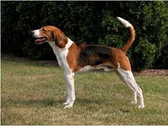 The Foxhound an awesome dog.