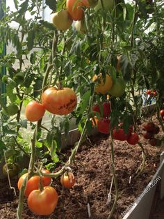 Форум - выращивание томатов, огород, дача - Медовый спас