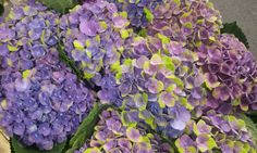 #Hydrangea #Hortensia #Amathyst Lila/Green; Available at www.barendsen.nl