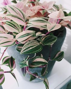 Pink white Tradescantia tricolor sillamontana suculentas lithops succulent seeds bonsai flower pots for home garden Succulent Seeds, Planting Succulents, Planting Flowers, Calathea Triostar, Plantas Indoor, Decoration Plante, Plants Are Friends, Interior Plants, Outdoor Plants