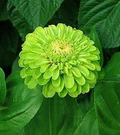 Google Image Result for http://www.georgiavines.com/optimgs/seeds/unusual/zinniaenvyd300.jpg