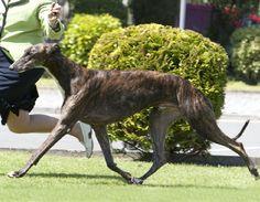 Monty, european winner show in dublin 2009. Greyhound