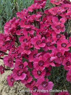 Dianthus 'Ruby Sparkles' | HostasDirect