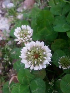 Flor del trebol