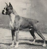 The most important and influential boxer of all time...Ch. Bang Away of Sirrah Crest...121 best in shows in just five years including Westminster, and he sired 81 champions, a record that still stands. Without this dog, boxers would look very different today!