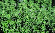 """ZOLA TRICKS: Alfalfa -  """"Great Healer"""""""