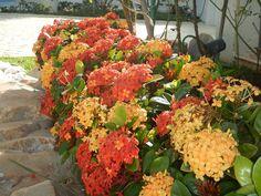 Blog da Adriana Alvim: Ixora - jardim florido e protegido