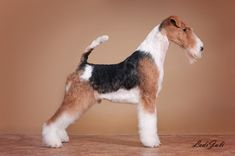 Perro Fox Terrier, Wirehaired Fox Terrier, Wire Fox Terrier, Rat Terriers, Dog Grooming Salons, Pet Grooming, Terrier Breeds, Dog Breeds, Bernedoodle Puppy
